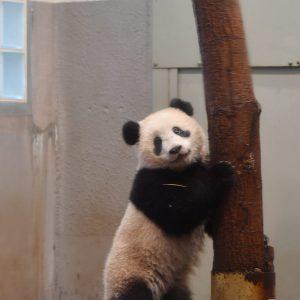 世界一かわいい子パンダ★上野動物園の香香(シャンシャン)の1歳の誕生日まであと3日!