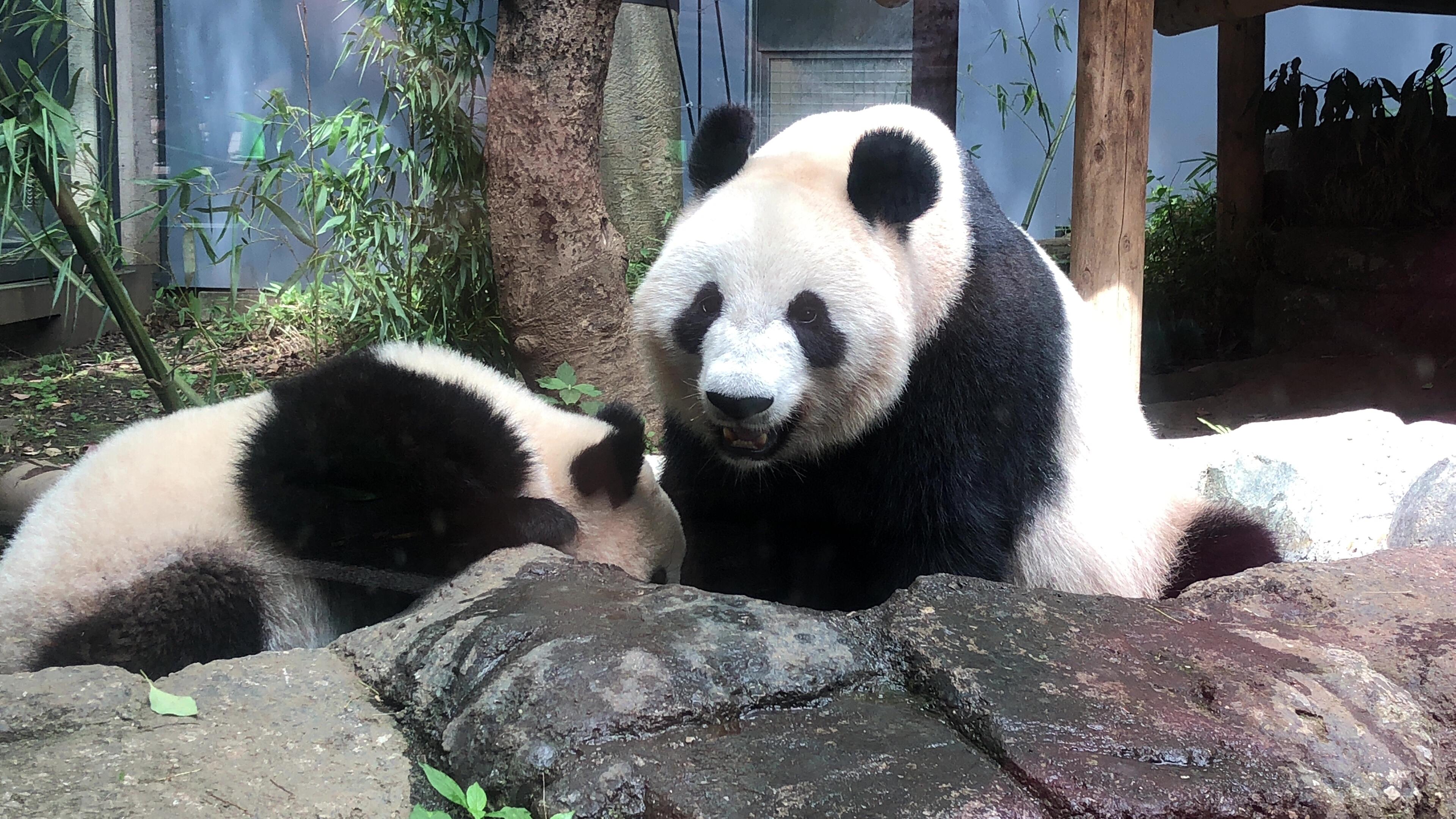 上野のかわいいママパンダ、シン...