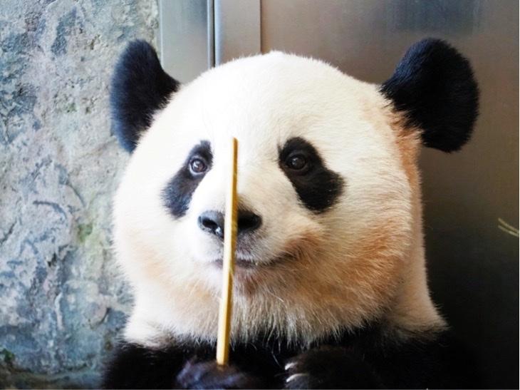 6頭のパンダに会える!日本のパンダの聖地!!アドベンチャーワールドに行ってきたよ。