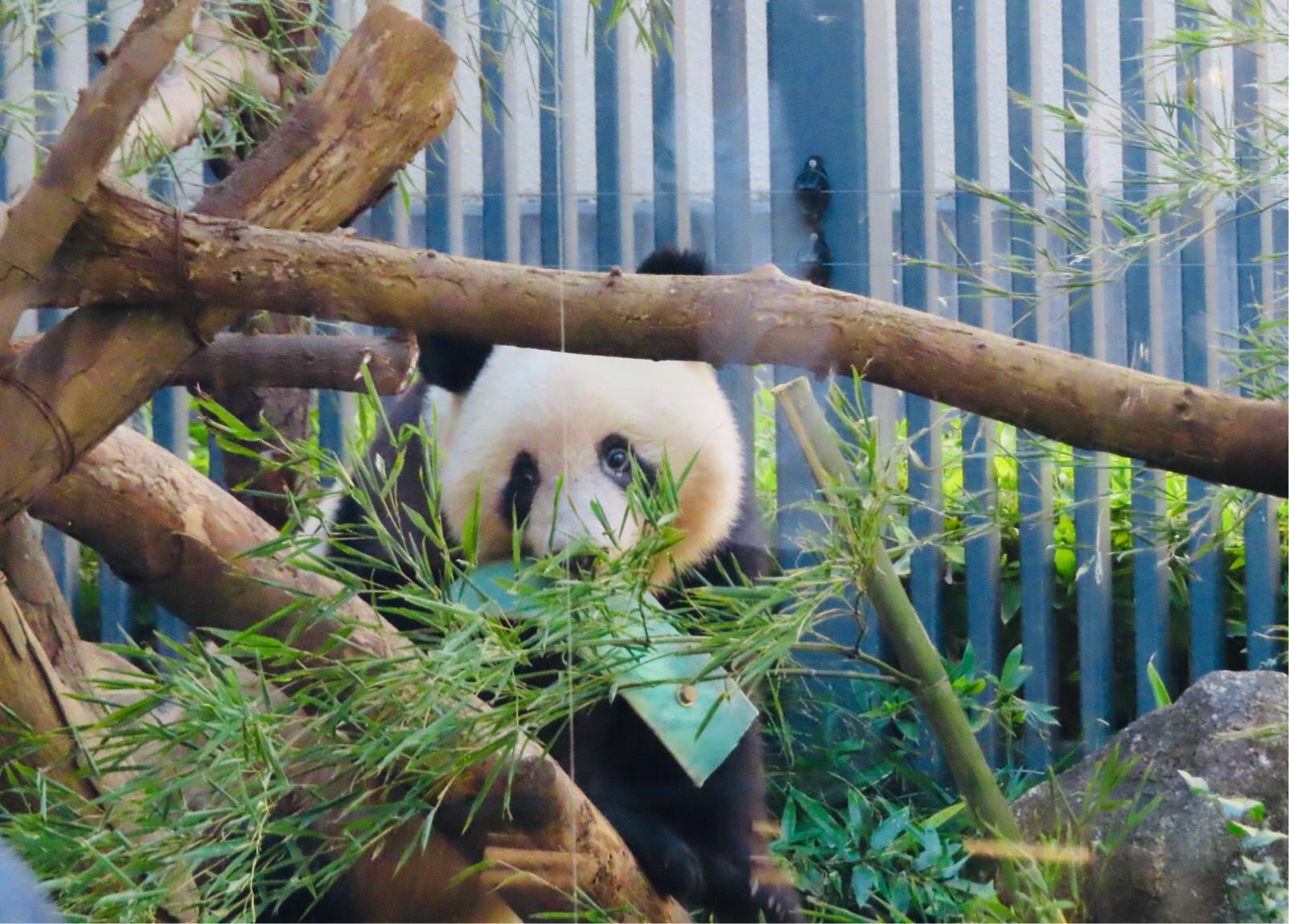 体重が減ってもパンダ団子を食べて元気!上野の天使シャンシャン(香香)876日齢!